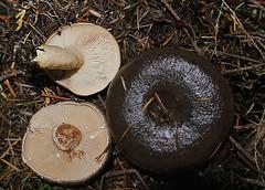Lactarius pseudomucidus (Dick Culbert) Tags: taxonomy:binomial=lactariuspseudomucidus taxonomy:family=russulaceae russulaceae geo:lat=4946 geo:long=12372 fungus mushroom lactariuspseudomuscidus slimy britishcolumbia