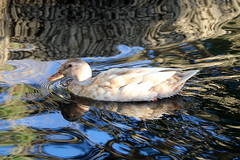 Woozy water cool and calm (tess01b) Tags: duck nature outdoor naturescenes water bird save earth