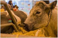 _PPD9342a (duport.patrick) Tags: vache cow fair salon agricole agriculture paris versailles porte patrick duport gosier bobigny international nature lait milk