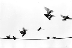 GoodbyeBlueSky (Eleni Maitou) Tags: analogue film 35mm canonae1 canon bnw birds pigeons athens greece animals ngc analog kodak400tmax
