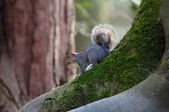 How do squirrels find their nuts? (jeannie debs) Tags: nuts forest wood trees green fur animal squirrel grey bokeh bokehwednesdays hbw