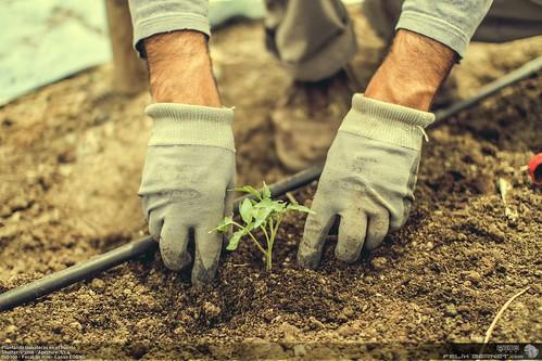 Plantando tomateras en el huerto