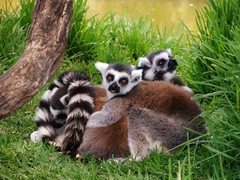 Lemurs having a Ball: Honolulu Zoo (John.Johnson.15) Tags: tree green grass tongue ball fun zoo play honolulu lemurs having ringtailed