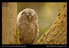 Tawny Owlet 01 (Black Stallion Photography) Tags: baby brown black tree bird nature photography scotland eyes closed branch wildlife fluffy fork sleepy stallion tawny owlet igallopfree