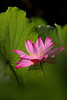 IMG_Q6095 (HL's Photo) Tags: plant flower macro nature lily lotus 花 荷花 蓮花 blinkagain