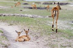 Impalas-(Aepyceros melempus) (Zsuzsa Poór) Tags: africa animal wildlife safari botswana chobe animalplanet canonistas canoneos7d choberiverfront