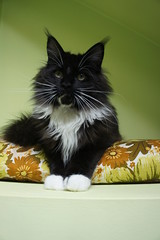 Amichi (Perfect Cat*UA) Tags: white black cat kitten with maine coon solid