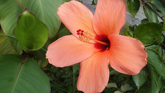 Hibiscus Flower (niramay joshi) Tags: red orange flower beautiful sony large cybershot hibiscus malvaceae dsc s3000 niramay dscs3000 niramayjoshi