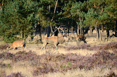 Red deer in the forest (iPics Photography) Tags: trees holland male nature netherlands dutch animals pine forest season landscape mammal europe stag heather wildlife deer antlers heath females buck reddeer rut hogeveluwe rutting hinds cervuselaphus