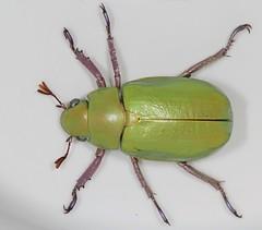 Beyer's Scarab (cotinis) Tags: arizona insect beetle fieldtrip coleoptera eol scarabaeidae rutelinae canonefs60mmf28macrousm chrysina photogene chrysinabeyeri srer beyersscarab taxonomy:binomial=chrysinabeyeri bugguidegathering2013