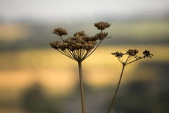 summer landscape obscured (Ray Byrne) Tags: summer landscape weeds dof northumberland obscured raybyrne byrneoutcouk webnorthcouk