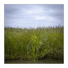 Claimarais (04). (Scubaba) Tags: france fleurs square europe couleurs lys marais carr pasdecalais audomarois
