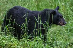 Wild Black Bear (Eve'sNature) Tags: bear nature minnesota animal wildlife blackbear photographyforrecreation
