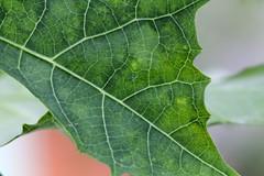Hoja a Fondo (José Ramón de Lothlórien) Tags: macro verde helecho hojas flora plantas flor rosa jr pasto shamrock follaje troncos ramas trebol treboles producciones venas malesa venitas malbo
