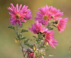 Pink flowers (bbic) Tags: pink flowers garden chrysanthemum