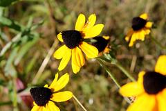 End of Summer 2 (Mamluke) Tags: flowers flower minnesota yellow superior northshore rudbeckia lakesuperior blackeyedsusan rudbeckiahirta mamluke