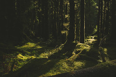 Second Growth (zh3nya) Tags: trees light sunlight nature forest outdoors washington moss woods rainforest northwest hiking logs faded fir rays washingtonstate olympicnationalpark pnw nurselogs