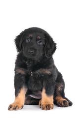 Chanti (edwindejongh) Tags: dog chien cute dark puppy eyes klein little sweet adorable perro hund pup petite lief hondje jong puppie puppyeyes schattig blackandbrown lieb hundchen animalhandling witteachtergrond dierenfotografie catvertise