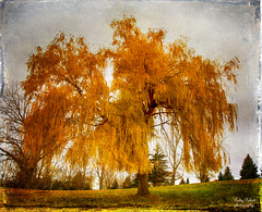 weeping willow (Pattys-photos) Tags: willow weeping
