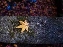 R0013668 (jam343) Tags: autumn fall leaves yellow japan leaf kyoto foliage momiji 京都 gr grd gr3 kowata 松殿山荘 木幡 grd3