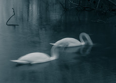For Life (Luke-Collins) Tags: life blur nature pond long exposure wildlife swans
