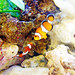 Clownfish / カクレクマノミ