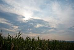 Kukuruz / Corn