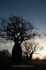 _.jpg (CreateEvoke) Tags: sunset silhouette 35mm evening bush nikon october australia explore louise wa outback kimberley westernaustralia d800 boab topend kununurra landscapephotography 2013 createevoke