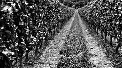 Tunnel Vision (Steve Crane) Tags: southafrica vines track estate winery grapes grape grapevines winefarm westerncape helderberg somersetwest lourensford