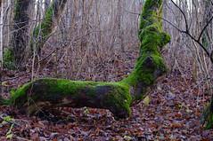 Tammik detsembris (Jaan Keinaste) Tags: tree estonia pentax lime puu eesti k7 sammal tammik pärn pentaxk7 lehmjatammik rohelinesammal