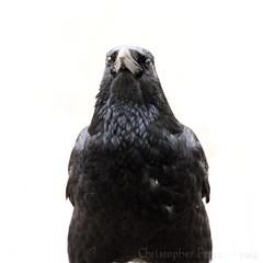Corvid (Christopher Mark Perez) Tags: paris france bird birds crow crows corvid canon70200f4l corvids canon5dmkii