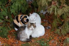 Sviatohirsk 27 (Alexxx1979) Tags: winter cat january ukraine январь svyatogorsk кот зима украина 2013 святогорск