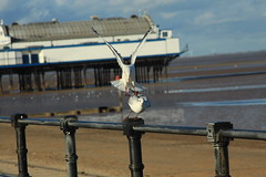 Seagulls 1 (Steve Dawson.) Tags: uk sea england beach canon eos pier sand north lincolnshire east february cleethorpes breakwater 2014 50d nelincs canoneos50d vision:text=0548 vision:beach=0582 vision:sky=0658 vision:outdoor=0737 vision:clouds=053