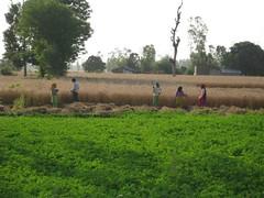 Kisan_Wheat_harvesting