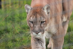 Cougar (Chicago John) Tags: world park cats oregon great junction cave cavejunction greatcatsworldpark {vision}:{outdoor}=0801