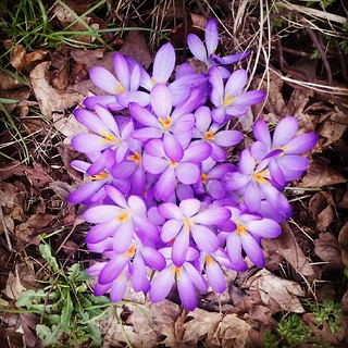 #spring #flower  #crocus
