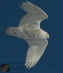 Snowy Owl (Nick Scobel) Tags: snowy michigan year owl invasion bubo irruption scandiacus