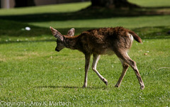 Fawn (AmyKay1974) Tags: deer pacificgrove montereypeninsula