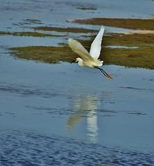 Snowy Egret with Fish (RWGrennan) Tags: fish reflection bird water island virginia ryan wildlife flight egret snowyegret refuge chincoteague grennan rgrennan