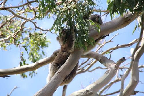 Koalas: Mutter mit Kind beim Essen