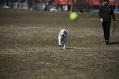 FRO_0069 (jaredpolin) Tags: dog nikon pit pitbull autofocus carona rones d4s vision:text=0504 vision:outdoor=0989