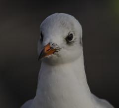 Looks cute... (Tobiasvde) Tags: barcelona sea white black 120 nature birds animal spain nikon seagull sigma 400mm d7000