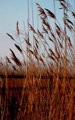 Durch das Schilf - Through the reed (Manuela Salzinger) Tags: sea reed meer balticsea ostsee schilf zingst bodden fischlanddarsszingst fuhlendorf