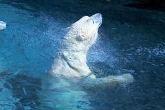 Polar Bear Splash! (praja38) Tags: life bear wild white toronto ontario canada male nature water pool animal swim mammal zoo wildlife canadian arctic polarbear paws polar splash predator inukshuk swiming captivity carnivore torontozoo enclosure capricorn whitebear