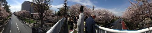 桜 国立市の大学通り Cherry trees at Daigaku-Dori  at Kunitachi, Tokyo