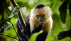 [Explore] [Costa Rica] Capuchin monkey (Cebus capucinus) (Cyrielle Beaubois) Tags: park costa america monkey costarica central rica explore national manuel antonio puravida singe capuchin cebus capucin canonef70200mmf40lusm 2013 capucinus canoneos5dmarkii cyriellebeaubois
