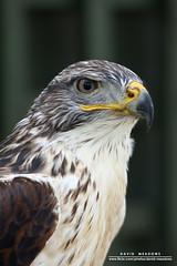 Predator (DMeadows) Tags: rescue bird scotland display beak feather prey predator trossachs aberfoyle davidmeadows dmeadows davidameadows dameadows