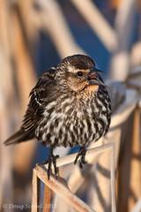 Red-winged Blackbird (Doug Scobel) Tags: kensington blackbird redwinged metropark agelaius phoeniceus