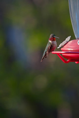 ruby throat (jimmy_racoon) Tags: nature birds canon is hummingbird mk2 5d 70200 rubythroated f4l 70200f4lis canon5dmk2