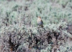 Sage Thrasher 2108 (Jeff Brough) Tags: desert sage idaho thrasher songbird jeffbrough